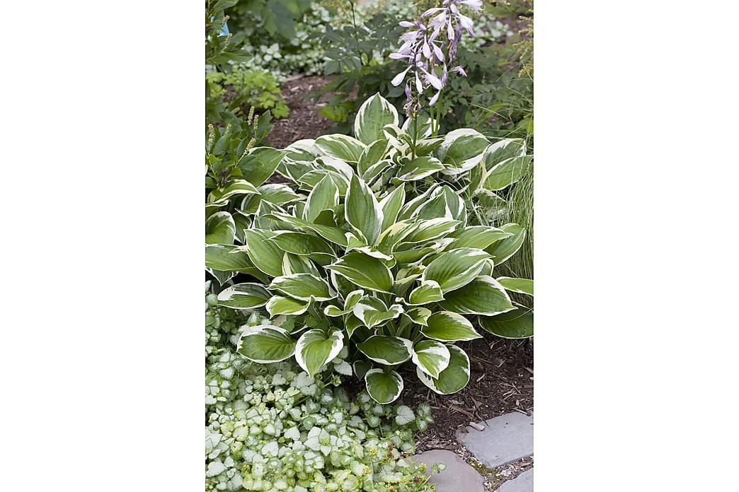 Blomsterfunkia Patriot 3-pack - Violett - Inredning - Dekoration - Konstgjorda växter