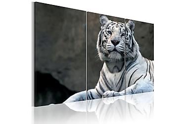 Tavla White Tiger 120x80