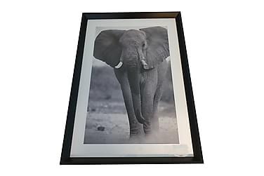 Tavla Elefant S/V Passepartout Svart Ram 50x3,5x70 cm