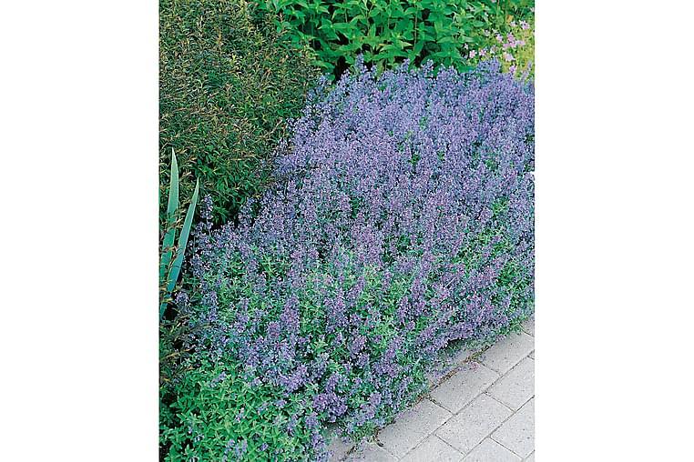 Kantnepeta 6-pack - Violett - Trädgård - Odling & trädgårdsskötsel