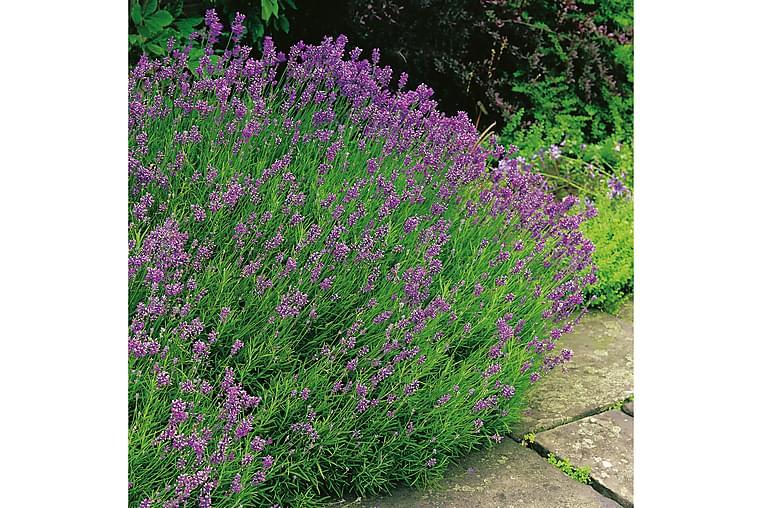 Lavendel Munstead 6-pack - Violett - Trädgård - Odling & trädgårdsskötsel