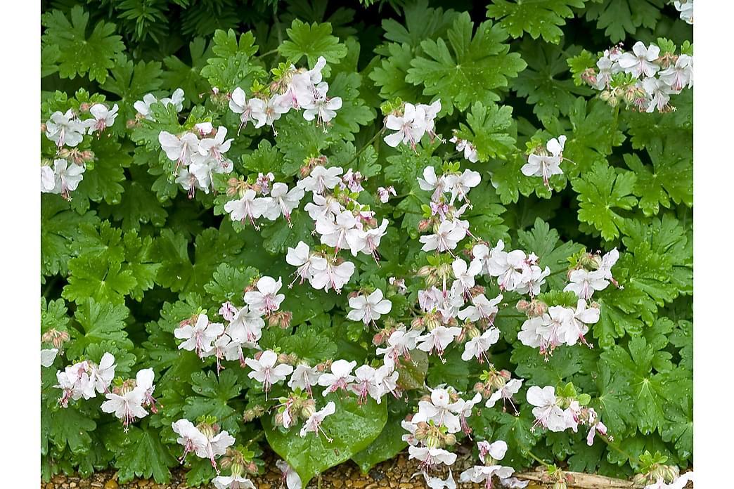 Liten Flocknäva Biokovo 6-pack - Vit/Rosa - Trädgård - Odling & trädgårdsskötsel